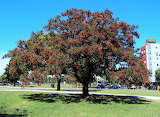 Árbol de la flor de ceibo