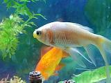 Gold-fish4