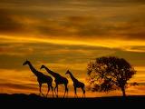 Giraffes at Sunset...