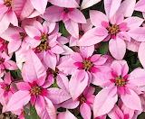 Poinsettia 'Princettia Hot Pink'