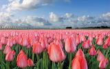 Tulipanes rosados 2