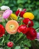 ^ Ranunculus colorful bouquet