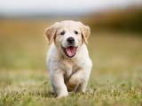 Golden-cachorro 0