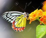 Jezebel-butterfly image from 123RF