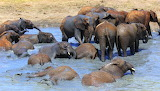 Elephant Orphans ~ Mud Wallow Fun