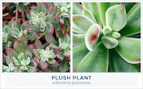 Outdoor succulents-plush-plant