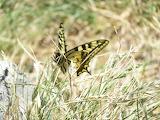 Papillon en montagne