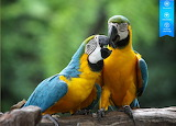 Macaw parrots by auricle 99 from magic jigsaw puzzles