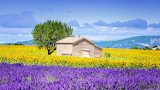 Provence-sunflower and lavender fields
