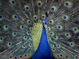 Blue Indian Peacock