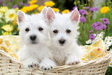 ☺West Highland White Terriers...
