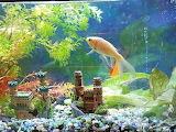 Gold fish (2)