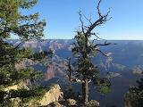 Trees - Grand Canyon