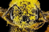 "Insects ""Our Native Bees"" ""© Paige Embry"" ""Halictus lagatus"""