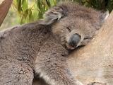 cute koala