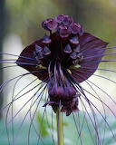 Flowers - Tacca Black 4 - Black Bat Flower