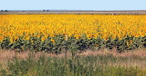 Route 66 Eye Candy - New Mexico Sunflowers