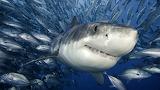 Never trust a smiling shark