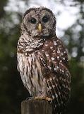 Birds - Barred Owl