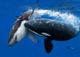 Orca And Shark