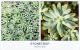 Outdoor succulents-stonecrop