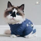 Albert- the adorable munchkin cat
