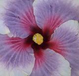 hibiscus 'Tahitian Taui'