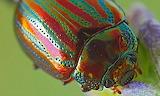 Colourful beetle