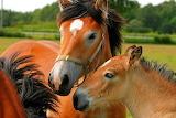 Swedish Ardennes horses