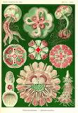 Ernst Haeckel, Discomedusae