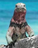 "Animals tumblr amnhnyc ""Marine Iguana. ""Amblyrhynchus cfistatus"""