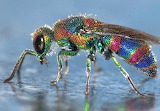 This Jewel Wasp is real!