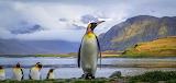 Emperor Penguin ~ South Georgia Island