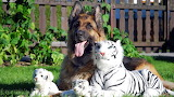 A Long Haired German Shepherd with White Tiger stuffed toys