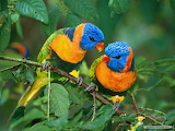 Parrots-birds-animals