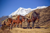 horses in Bhutan