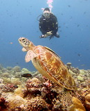 Green Sea Turtle ~ Palau