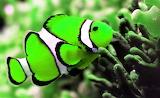 #Beautiful Green Clown Fish