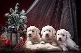 Cadells - Puppy