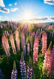 Field of Lupins South Island, New Zealand.
