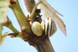 Escarhot sur un rosier / Snail on rosebush