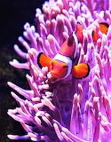 #Clown Fish in Hiding