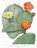 Science Tumblr scientificillustration The Cactaceae 1919-1923 by