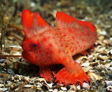 Thymichthys-politus-Rick-Stuart-Smith-Red handfish