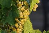 Grape-3586314 1920