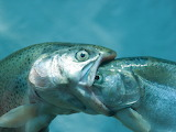 Eating-fish-1222561