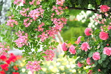 Pink, roses, beauty, garden, briar, flowers, leaves