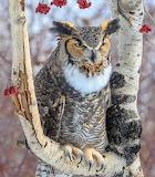 Birds - Great Horned Owl - Michigan