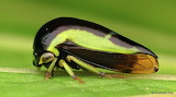 """Insects Treehopper """"Darnis sp., Membracidae"""" Ecuador """"©Andreas K"""