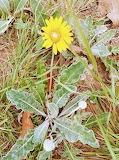 Flor yellow